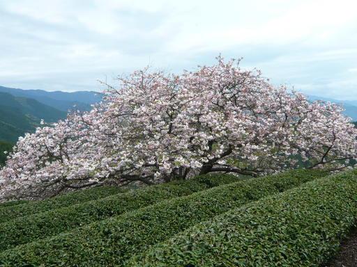 ルミックス遠山桜 020.JPG