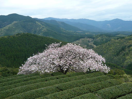 ルミックス遠山桜 034.JPG